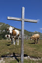 Wooden cross and cows on the mountain with a background beautiful sunny summer day in alps Stock Photos