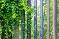 Wooden fence with green ivy