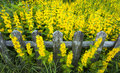 Wooden fence surrounded by yellow flowers Royalty Free Stock Photo