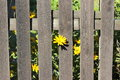 Wooden fence with yellow flowers Royalty Free Stock Photo