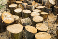 Wooden logs of oak tree Royalty Free Stock Photo
