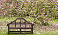 Wooden seat under blossoming magnolia tree Royalty Free Stock Photo
