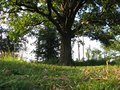 Nature background. Big old oak on the field of green grass in sunset