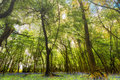 Woodland With Bluebell Carpet Royalty Free Stock Photo