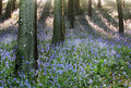 Woodland bluebells in spring and tree shadows Royalty Free Stock Photos