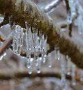 Woodland branch with icicles encased ice from an ice storm Stock Photo