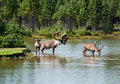Woodland caribou in a natural setting Stock Images