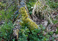 Woodland decay rotting tree branch in with moss and lichen Stock Photo