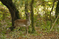 Woodland Deer Stock Photography