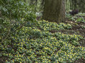 Woodland image of a carpet of Aconites in flower Royalty Free Stock Photo