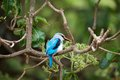 Woodland kingfisher halcyon senegalensis on the tree Royalty Free Stock Photos