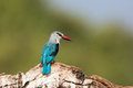 Woodland kingfisher looking to his side