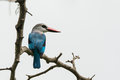 Woodland kingfisher perched on branch a a thorny Royalty Free Stock Images