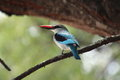 Woodland kingfisher portrait of halcyon senegalensis on its perch showing its bright blue back and black shoulders and white Stock Image