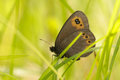 Woodland ringlet green grass summer Royalty Free Stock Image