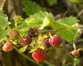 Woodland straberry strawberries growing wild in my garden Stock Image