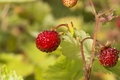 Woodland straberry strawberries growing wild in my garden Royalty Free Stock Photo