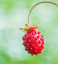 Woodland strawberry Fragaria vesca bright red fruit Royalty Free Stock Photo