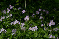 Woodland Wild Geranium Patch Royalty Free Stock Photo