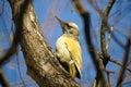 Woodpecker Royalty Free Stock Photo