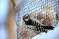 Woodpecker at bird feeder Stock Image