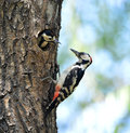 Woodpecker bird feeding mom and dad Stock Images