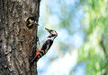 Woodpecker bird feeding mom and dad Stock Photography