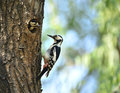 Woodpecker bird feeding mom and dad Royalty Free Stock Photo