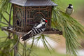 Woodpecker and chickadee at brid feeder black white feeding metal pagoda surrounded pine needles chckadee in background watching Royalty Free Stock Image