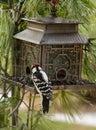 Woodpecker feeding at brid feeder black and white metal pagoda surrounded pine needles Royalty Free Stock Photo