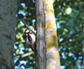 Woodpecker is holding a butterfly in its beak white russia near moscow Royalty Free Stock Image