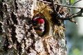 Woodpecker nestling in the hollow of a Stock Photos