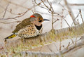 Woodpecker northern flicker Royalty Free Stock Photography