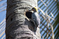 Woodpecker in a palmtree mexico Royalty Free Stock Photo