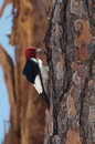 Woodpecker Red-Headed Imagens de Stock
