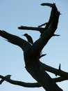 Woodpecker Silhouette Royalty Free Stock Photo