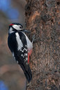 Woodpecker on the tree Stock Photography