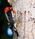 Woodpecker on a tree Royalty Free Stock Images