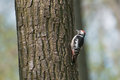 Woodpecker on a tree Stock Photos