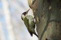 A woodpecker. Royalty Free Stock Photo