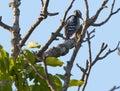 Woodpecker in a walnut tree Royalty Free Stock Photo