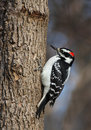 Woodpecker in winter Royalty Free Stock Image
