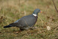 Woodpigeon Royalty Free Stock Photo