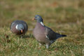 Woodpigeon Royalty Free Stock Image