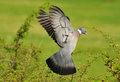 Woodpigeon in flight (Columba palumbus) Royalty Free Stock Images