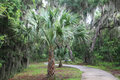 In the woods cabbage palm tree by a path Royalty Free Stock Image