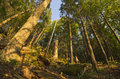 Woods fisheye tall trees deep in the forest with wide angle lens Royalty Free Stock Photo