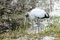 Woodstork - 1 Royalty Free Stock Photo