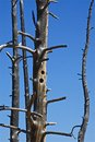 Woody wood pecker holes in trees killed by geysers Royalty Free Stock Image