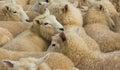 Wool Lambs Royalty Free Stock Photo
